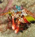 This is an image of peacock mantis shrimp in the ocean.