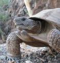 This is a specimen of the new species, Morafka's Desert Tortoise (<I>Gopherus morafkai</I>), from Tiburon Island, Sonora, Mexico.