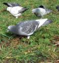 Untrained feral pigeons have special skills enabling them to recognize individuals, and are not fooled by people changing clothes.