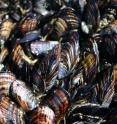 These are adult California mussels.