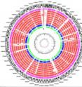 Circular diagram comparing the chromosomes of <i>E. coli</i> strains.  The red circles show genes shared between different E.coli strains, with the outermost red circle being <i>E. coli</i> 55989.  The magenta circle shows the 2001 outbreak strain, whilst the blue and green circles show genes shared with a Salmonella and a Shigella, respectively.  Matches to the Shiga toxin encoding virus are shown in black under the green circle.  This virus was present in the 2001 outbreak strain, and in <i>E. coli</i> O157:H7, but not in 55989.