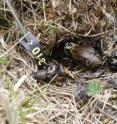 This image shows a female field cricket at the entrance of her burrow with the remains of her former partner after he was predated.