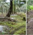 Conditions at a mature oil palm plantation site, 18 years after conversion: (left image) open canopy (causing increased soil temperatures), limited ground cover (causing lowered soil moisture content), intensive fertilization (white patches around palm trunks), and (right image) a loose top soil structure (leaning oil palms, footprints).