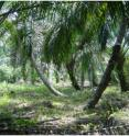 Oil palm plantations on peat: note the leaning trunks owing to low load-bearing capacity of peat soils.