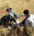WCS biologist S. Bolortsetseg takes measurements of a Mongolian gazelle while D. Nyamsuren, a veterinarian from Dornod Aimag Veterinary Laboratory, collects blood samples. WCS field assistant Otgoo restrains the gazelle.