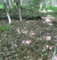 A forest experiencing heavy earthworm invasion often has few remaining herbaceous plants and seedlings, no intact litter layer, and extensive patches of bare soil.  A recent decline in ovenbirds, a ground-nesting migratory songbird, in forests in the northern Midwest US is being linked by scientists to earthworms.
