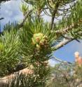 A new study finds that man-made noise has ripple effects on plants such as piñon pine, whose natural seed dispersers tend to avoid noisy areas.