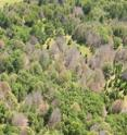 This is an aerial view of a forest of trees blighted with sudden oak death.