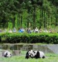 Tourists view pandas in the Wolong Nature Reserve in southwestern China.