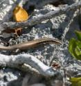 Twenty-four new species of lizards known as skinks have been discovered on Caribbean islands by a team led by Blair Hedges, of Penn State University, who has described the species scientifically. Half of these new species already may be extinct or close to extinction. The loss of many skink species can be attributed primarily to predation by the mongoose -- a predatory mammal that was introduced by farmers. Other types of human activity, especially the removal of forests, also are to blame, according to the researchers. This picture is of one of the new species, an Caicos Islands skink.