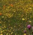 Native wildflowers still dominate this prairie-like California serpentine grassland.