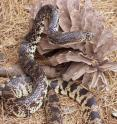 This is a Louisiana pine snake.