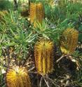 This is the new species, <i>Banksia neoanglica</i>.