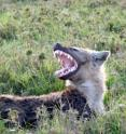 MSU researchers show that microbes help hyenas communicate via scent.