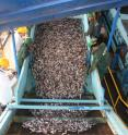 According to the study, the highest forage fish catches were found in the Humboldt Current models where the Peruvian anchoveta fishery operates.