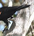 A study led by St. Andrews University in Scotland tagged New Caledonian crows to learn about their social behavior.