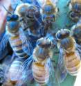 BioMed Central's open access journal <i>Genome Biology</I> finds that specific proteins, released by damaged larvae and in the antennae of adult honey bees, can drive hygienic behavior of the adults and promote the removal of infected larvae from the hive.