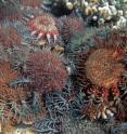 Outbreaks of the coral eating crown of thorns starfish have been responsible for 42 percent of the over 50 percent decline in coral cover on the Great Barrier Reef between 1985 and 2012.