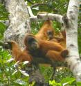 Sumatran orangutans have undergone a substantial recent population decline, according to a new genetic study published in <i>Journal of Heredity</i>, but the same research revealed the existence of critical corridors for dispersal migrations that, if protected, can help maintain genetic diversity and aid in the species' conservation.