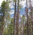 Entire stands of mature lodgepole pines have died as a result of the beetle epidemic.