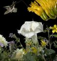 A moth can take advantage of a buffet of blossoms because of two olfactory &quot;channels&quot; for processing smells, one attuned to instinctive favorites and the other able to remember alternate sources of nectar.