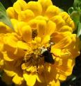 This image shows <i>Bombus vosnesenskii</i>, the yellow-faced bumblebee studied by University of Texas at Austin's Shalene Jha and University of California, Berkeley's Claire Kremen. The researchers found that the ground-nesting bumblebees are negatively impacted by impervious cover and will forage long distances for diverse patches of flowers.