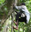 Men in Twa society from Uganda regularly climb trees to gather honey.