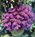 <i>Pocillopora damicornis</i> coral from the Red Sea expressing a pink photoprotective chromoprotein.