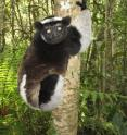 This is an indri (<I>Indri indri</I>) from eastern Madagascar.