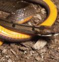 This picture shows the vibrant yellow coloring of the snake <I>Hologerrhum philippinum</I>, which is endemic to Luzon.