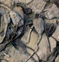 Different species of the sea animals known as crinoids display different colors in these 350-million-year-old fossils. Ohio State University researchers have found organic compouds sealed within the pores of these fossilized animals' skeletons.