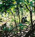 Thick vegetation makes swamp forests relatively unappealing to humans and animals. Here a Zanzibar red colobus monkey feeds on young leaves in a cluster of mangrove roots.
