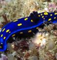 This is the <i>Felimare californiensis</i>, a sea slug with the University of California colors, at Catalina Island.