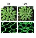 Genetically engineered <i>Arabidopsis</i> plants (#89) yielded as much biomass as wild types (WT) but with enhanced polysaccharide deposition in the fibers of their cells walls.