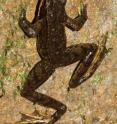 This image shows a male <i>Rana iberica</i> climbing up the gallery wall.
