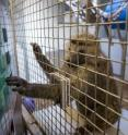 Sabina, an olive baboon at the Seneca Park Zoo in Rochester, N.Y., participates in a University of Rochester study led by cognitive scientist Jessica Cantlon.