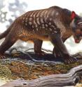 This is an artist's reconstruction of an extinct marsupial lion -- <i>Thylacoleo carnifex</i>.