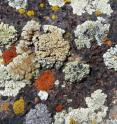 A colorful collage of lichens growing on rock in an arid region of the Southwestern USA. Lichens play a variety of important ecological roles and are often a dominant biological component in extreme environments.