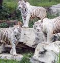 These are white tigers at Chimelong Safari Park in China.