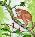 This is an artist's conception of what the newly discovered primate, <i>Archicebus achilles</i>, might have looked like.