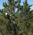 Ecologist Josh Rapp climbs a whitebark pine to sample cone-bearing branches.