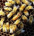 Researchers have found that genetic diversity, determined by the number of times a queen bee has mated, is crucial to maintaining the health of a honey bee colony.