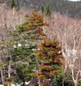 Decline in red spruce has been attributed to damage that trees sustain in winter, when foliage predisposed to injury by exposure to acid rain experiences freezing injury and dies.
