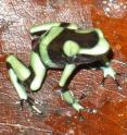 Poison dart frogs like this one, photographed by Louise Rollins-Smith during a trip to Panama in 2010, are threatened by fungal infections that paralyze their immune response.