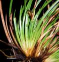 This is a close-up of <i>Lepidosperma monticola</i> plant.