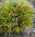 This is <i>Lepidosperma monticola</i> at Mt Field National Park, Tasmania.