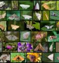 Figure legend: The diversity of herbivore species (here: moths and butterflies) generally decreases with decreasing island size. From the smallest islands, the topmost links in the food chain (i.e. the predators feeding on the herbivores) may simply fall off. The picture shows a tenth of the herbivores encountered by the scientists.