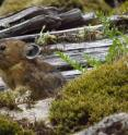A rabbit relative known as a pika sits among wood, moss and rocks on rockslide or talus slope in Oregon's Columbia River Gorge. A University of Utah study found the pikas -- which normally live at much higher elevations and are threatened by climate change -- survive at nearly sea level in Oregon by eating more moss than any other known wild mammal.