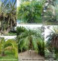 This image shows <i>Phoenix</i> species and hybrids in the public gardens of the Municipality of Sanremo, Italy. Date palm <i>P. dactylifera</i>; Senegal date palm <i>P. reclinata</i>; Cretan date palm <b>P. theophrasti</b>; Cliff date palm <i>P. rupicola</i>; Pigmy date palm <i>P. roebelenii</i>; Hybrid between date palm (<i>P. dactylifera</i>) and Canary Islands date palm (<i>P. canariensis</i>).