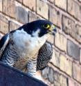 Formerly on the endangered species list, peregrine falcons are increasingly common in cities.